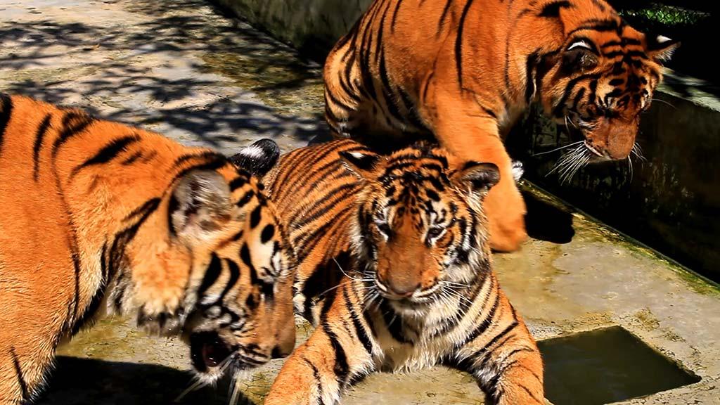 Tiger Kingdom, Chiang Mai.
