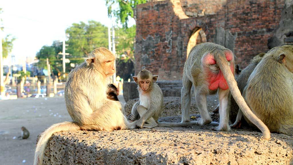 Monkeys in Wat Phra Prang Sam Yod, Lopburi.