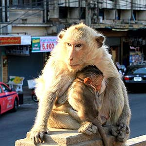 Lopburi, the city of the monkeys