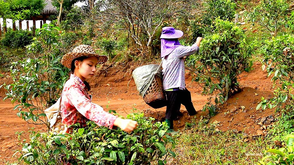 Working in a tea plantation, Lahu Tribe.