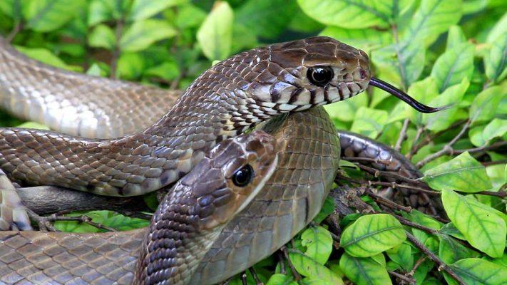 Snake Farm, Bangkok